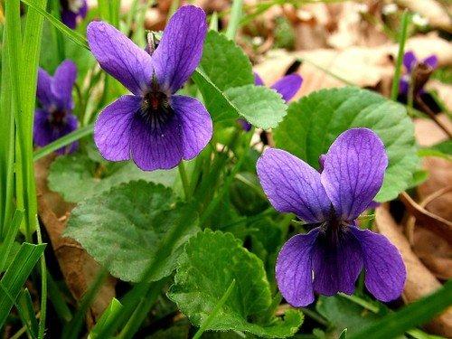 Che fiori mettere sul balcone viola-mammola