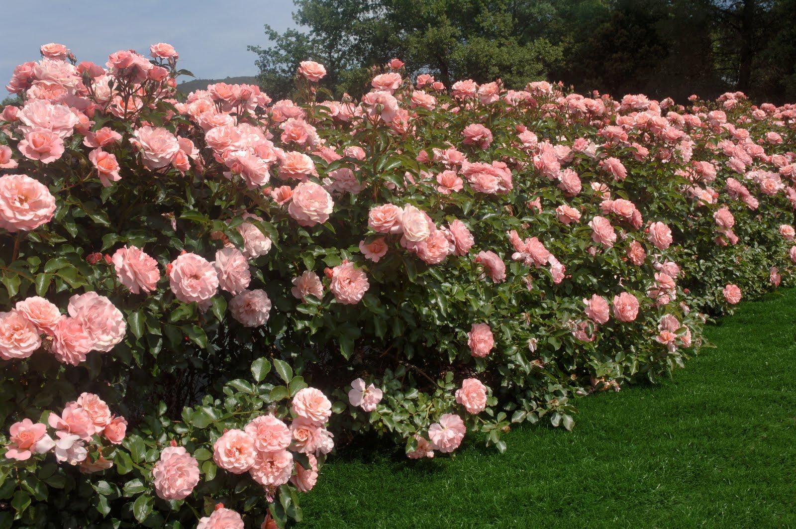 Come preparare il giardino per la primavera for Rose da giardino