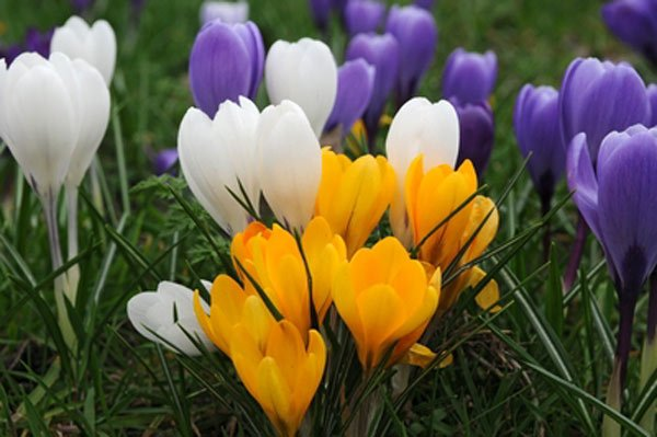 Fiori per giardino primaverili: i crocus