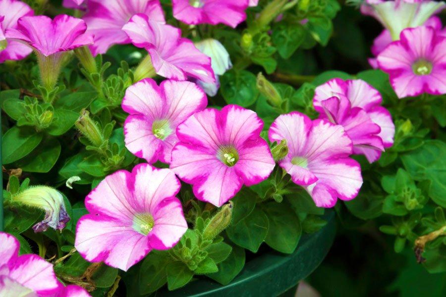 fiori per giardino primaverili quali scegliere