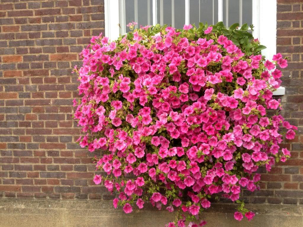 Composizione Vasi Da Balcone petunie surfinie: fiori per tutto l'anno, i nostri consigli