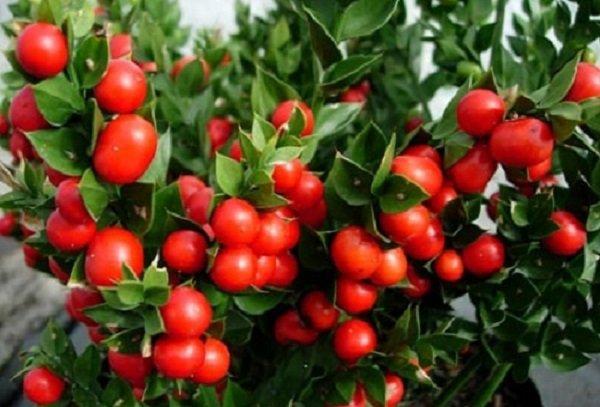 Stella di natale ma non solo le piante da regalare a natale for Pianta ornamentale con bacche rosse
