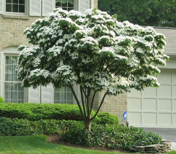 Alberi da giardino consigli e suggerimenti per aiutarvi - Alberi sempreverdi da giardino ...