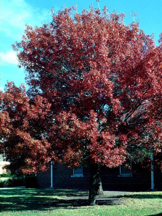 Alberi Da Giardino Quercia Rossa