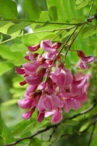 Indigofera Tinctoria colore indaco