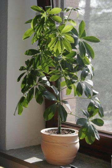 Schefflera piante ornamentali