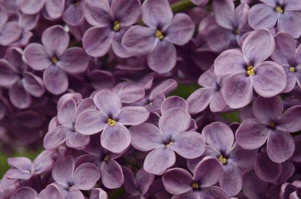 origine color lilla