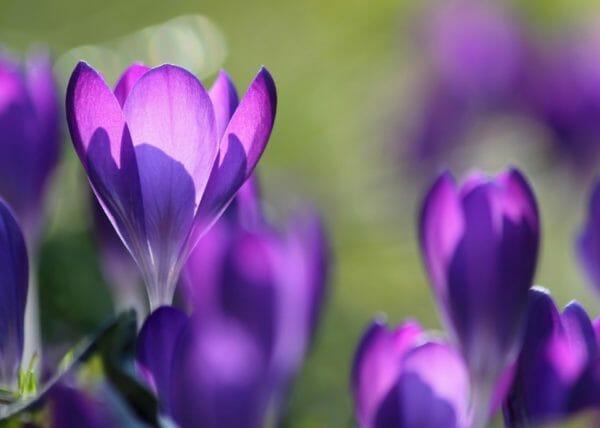 colore viola - il fiore