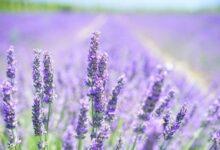 Photo of Scopriamo il colore lavanda, una sfumatura di viola perfetta per pareti, camere da letto e bagno